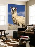 Alpaca (Vicugna Pacos) Plakater af John Elk III