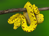 Immature Green Tree Python Fotografisk trykk av Adam Jones