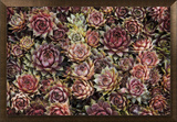 Succulents Framed Canvas Print by David Winston