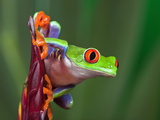 Red-Eyed Tree Frog Photographic Print by Adam Jones