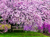 Wooden Bench under Cherry Blossom Tree in Winterthur Gardens, Wilmington, Delaware, Usa Fotografie-Druck von Jay O'brien