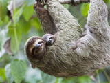Brown-Throated Sloth and Her Baby Hanging from a Tree Branch in Corcovado National Park, Costa Rica Fotografisk tryk af Jim Goldstein