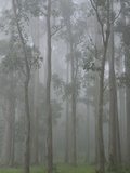 Mountain Ash Forest in Fog, Dandenong Ranges National Park, Dandenong Ranges, Victoria, Australia Photographic Print by Jochen Schlenker