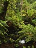 Stream and Tree Ferns, Mount Field National Park, UNESCO World Heritage Site, Tasmania, Australia Stretched Canvas Print by Jochen Schlenker