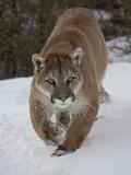 Mountain Lion (Cougar) (Felis Concolor) in Snow in Captivity, Near Bozeman, Montana Lámina fotográfica por James Hager