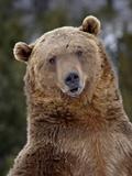 Grizzly Bear (Ursus Arctos Horribilis) in Captivity, Near Bozeman, Montana, USA Lámina fotográfica por James Hager