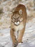 Mountain Lion (Cougar) (Felis Concolor) in the Snow, in Captivity, Near Bozeman, Montana, USA Lámina fotográfica por James Hager