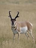 Pronghorn (Antilocapra Americana) Buck, Custer State Park, South Dakota, USA Impressão fotográfica por James Hager