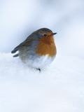 Robin (Erithacus Rubecula), in Snow, United Kingdom, Europe Fotografisk tryk af Ann & Steve Toon