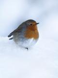 Robin (Erithacus Rubecula), in Snow, United Kingdom, Europe Fotografie-Druck von Ann & Steve Toon