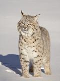 Bobcat (Lynx Rufus) in the Snow in Captivity, Near Bozeman, Montana, USA Lámina fotográfica por James Hager