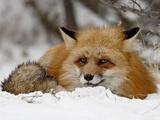 Captive Red Fox (Vulpes Vulpes) in the Snow, Near Bozeman, Montana, USA Lámina fotográfica por James Hager
