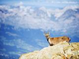 Ibex (Capra Ibex), on Lower Slopes of Mont Blanc, Chamonix, French Alps, France, Europe Fotografie-Druck von Christian Kober