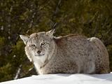 Captive Siberian Lynx (Eurasian Lynx) (Lynx Lynx) in the Snow, Near Bozeman, Montana, USA Lámina fotográfica por James Hager