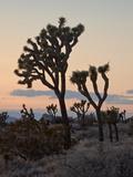 Joshua Trees at Sunset, Joshua Tree National Park, California Photographic Print by James Hager