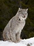 Canadian Lynx (Lynx Canadensis) in the Snow, in Captivity, Near Bozeman, Montana, USA Lámina fotográfica por James Hager