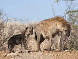 Spotted Hyena With Cub, South Africa, Africa Fotografisk tryk af Ann & Steve Toon
