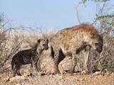 Spotted Hyena With Cub, South Africa, Africa Fotografie-Druck von Ann & Steve Toon