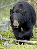 Black Bear (Ursus Americanus), Jasper National Park, Alberta, Canada, North America Impressão fotográfica por James Hager