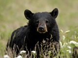 Black Bear (Ursus Americanus), Alaska Highway, British Columbia, Canada, North America Impressão fotográfica
