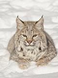 Bobcat (Lynx Rufus) in the Snow, in Captivity, Near Bozeman, Montana, USA Lámina fotográfica