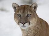 Mountain Lion (Cougar) (Felis Concolor) in Snow in Captivity, Near Bozeman, Montana Lámina fotográfica