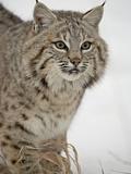 Bobcat (Lynx Rufus) in Snow in Captivity, Near Bozeman, Montana Lámina fotográfica