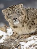 Snow Leopard (Uncia Uncia) in the Snow, in Captivity, Near Bozeman, Montana, USA Lámina fotográfica