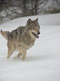 Gray Wolf (Canis Lupus) Running in the Snow in Captivity, Near Bozeman, Montana Lámina fotográfica