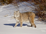 Bobcat (Lynx Rufus) in the Snow in Captivity, Near Bozeman, Montana, USA Lámina fotográfica