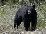 Black Bear (Ursus Americanus), Banff National Park, Alberta, Canada, North America Impressão fotográfica