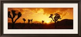 Sunset, Joshua Tree Park, California, USA Framed Photographic Print by  Panoramic Images