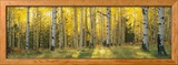 Aspen Trees in Coconino National Forest, Arizona, USA Framed Photographic Print by  Panoramic Images