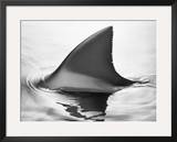 Shark Fin Framed Photographic Print by Howard Sokol