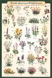 North American Wildflowers Educational Science Chart Poster Kunstdruck