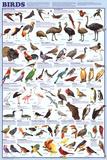 Aves, gráfico educativo, en inglés, póster Pósters