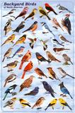 Pássaros do quintal, quadro educativo, pôster científico Pôsters