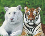 Brothers (White & Orange Tigers) Art Poster Print Posters