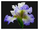 Tall Bearded Iris - Alizes Affiches par Richard Reynolds