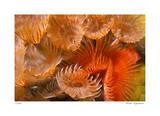 Feather Duster Colony Giclee-trykk av  Jones-Shimlock