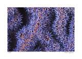 Seafan Giclee-trykk av  Jones-Shimlock