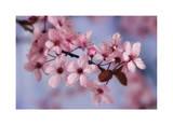 Kirschblüten I|Cherry Blossoms I Giclée-Druck von Donald Paulson