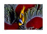 Red Sea Anemonefish Giclee-trykk av  Jones-Shimlock