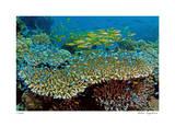 Table Coral and Reef Fish Giclee-trykk av  Jones-Shimlock