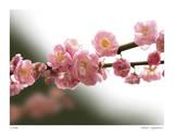 Cerisiers en fleurs I Reproduction procédé giclée par Joy Doherty