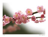 Cherry Blossoms I Giclee Print by Joy Doherty