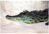 Nile Crocodile (On Ground) Art Poster Print Posters