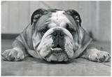 Bulldog Archival Photo Poster Print Posters