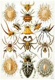 Arachnida Nature Art Print Poster by Ernst Haeckel Billeder