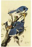 Audubon Blue Jay Bird Art Poster Print Posters